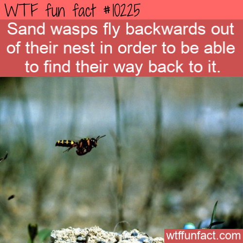 WTF Fun Fact - Wasps FLying Backwards
