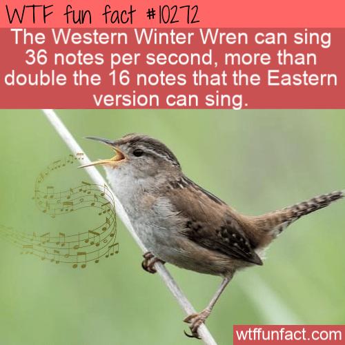 WTF Fun Fact - Winter Wren Singing