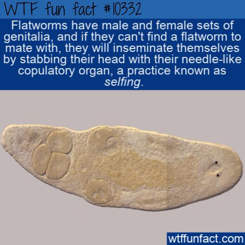 WTF Fun Fact - Flatworm Selfing