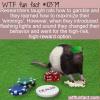 WTF Fun Fact – Gambling Rats