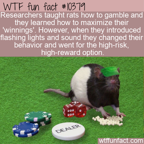 WTF Fun Fact - Gambling Rats
