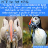 WTF Fun Fact – Puffin's Beaks Carry Lots Of Fish