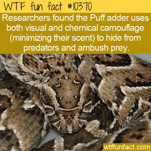 WTF Fun Fact - Puff Adders