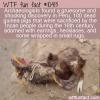 WTF Fun Fact – Bejeweled Guinea Pigs