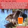 WTF Fun Fact – Castoreum Beaver Scent