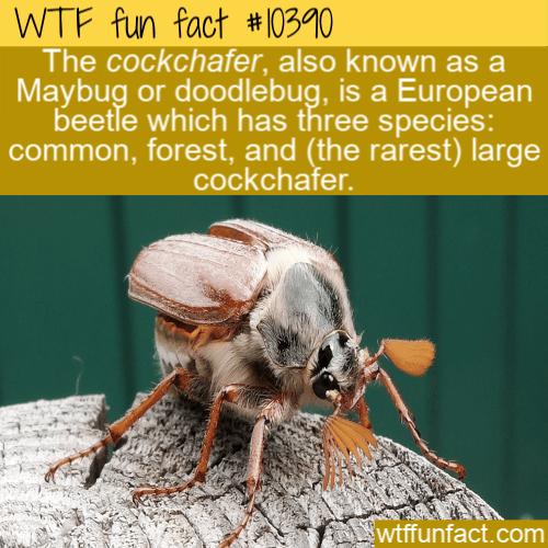 WTF Fun Fact - Cockchafer