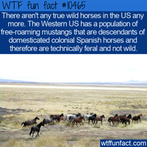 WTF Fun Fact - No Wild HOrses