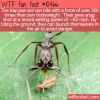 WTF Fun Fact – Trap-Jaw Ant