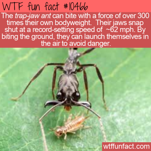 WTF Fun Fact - Trap-jaw ants