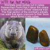 WTF Fun Fact – Wombats Poop Cubes