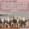 WTF Fun Fact – Camel Beauty Contest