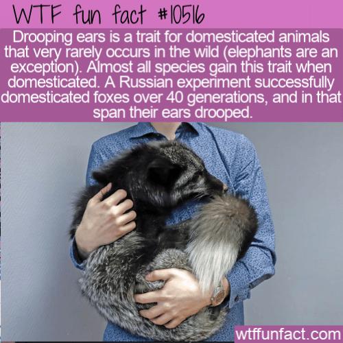 WTF Fun Fact - Drooping Ears Trait