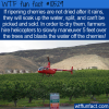 WTF Fun Fact – Why Dry Cherries Are Expensive