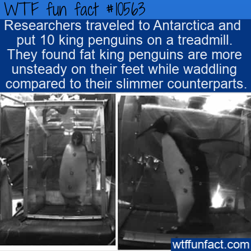 WTF Fun Fact - Fat Penguins On A Treadmill
