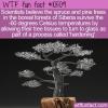 WTF Fun Fact – Glass Siberian Christmas Trees