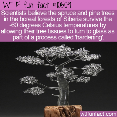 WTF Fun Fact - Glass Siberian Christmas Tree