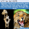 WTF Fun Fact – Jaguars Jaw Dropping Power
