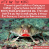 WTF Fun Fact – Galapagos Batfish