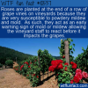 WTF Fun Fact – Roses And Vineyards