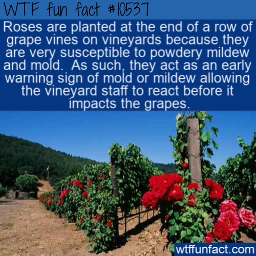 WTF Fun Fact - Roses And Vineyards(1)