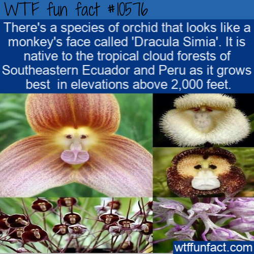WTF Fun Fact - Monkey Face Orchid