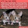WTF Fun Fact – Nonemitic Rats