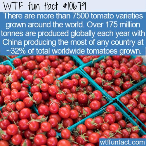WTF Fun Fact - 7500 tomatoes