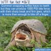 WTF Fun Fact – Snapping Turtles Bite