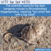 WTF Fun Fact – Dark Kangaroo Mouse