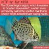 WTF Fun Fact – Scatophagus argus