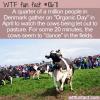 WTF Fun Fact – Danes Watch Dancing Cows