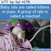 WTF Fun Fact – Odd Rat Names