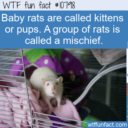 WTF Fun Fact - Baby Rats are Kittens