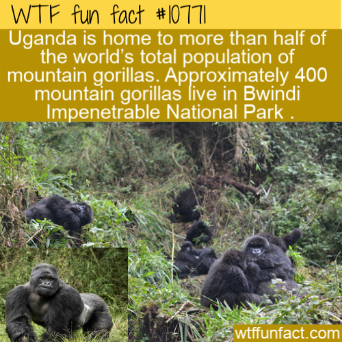 WTF Fun Fact - Country Of Gorillas