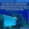 WTF Fun Fact – Manta Rays & Mirrors