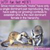 WTF Fun Fact – Meerkat Eating Contest