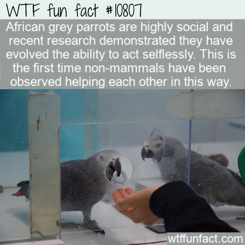 WTF Fun Fact - Parrots Can Buy