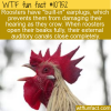 WTF Fun Fact – Rooster's Earplugs