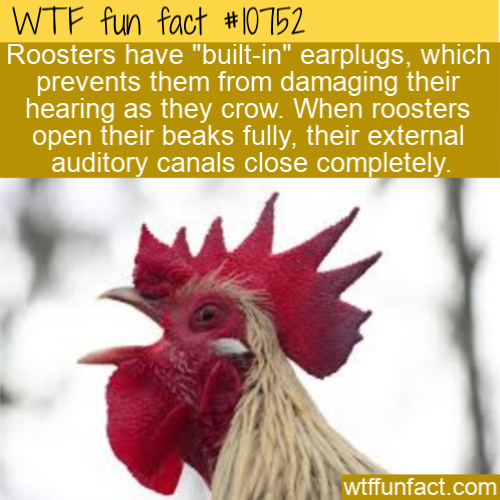 WTF Fun Fact - Rooster's Earplugs