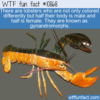 WTF Fun Fact – Multi-Colored Lobsters