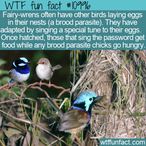 WTF Fun Fact - Fairy-wrens Use Feeding Password