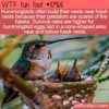 WTF Fun Fact – Hummingbird Nests