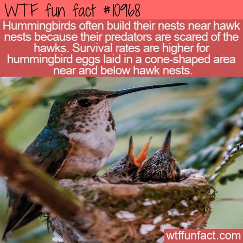 WTF Fun Fact - Hummingbirds And Hawks