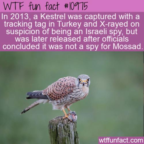 WTF Fun Fact - Kestrel Arrested In Turkey