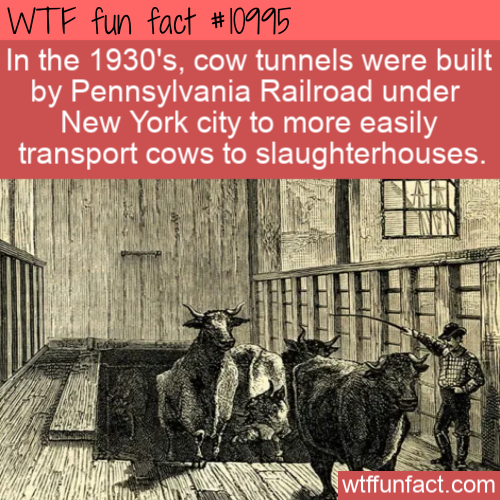 WTF Fun Fact - NYC Cow Tunnels