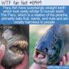 WTF Fun Fact – Pacu Fish