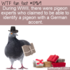 WTF Fun Fact – Pigeon Accents