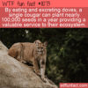 WTF Fun Fact – Cougars Planting Seeds