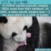 WTF Fun Fact – Tiny Baby Pandas