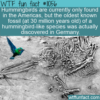 WTF Fun Fact – Where Do Hummingbirds Come From?